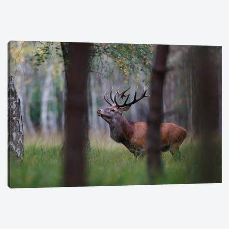 Red Deer II Canvas Print #MTU238} by Mateusz Piesiak Canvas Art Print