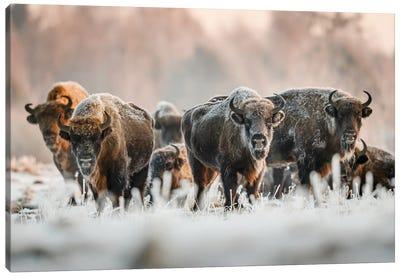 Frozen Bison Canvas Art Print