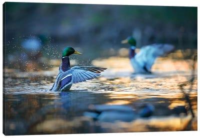 Mallard Ducks II Canvas Art Print