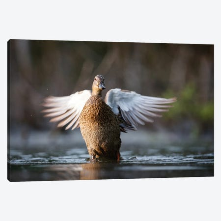 Mallard Duck Canvas Print #MTU24} by Mateusz Piesiak Canvas Art