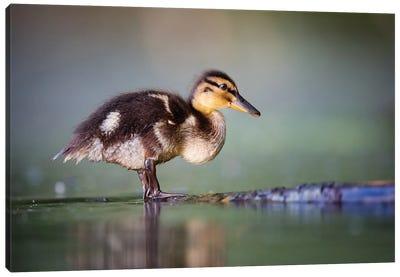 Duckling II Canvas Art Print