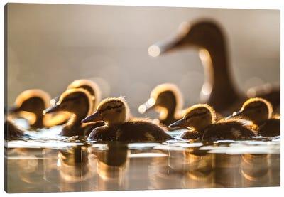 Mallard Ducklings II Canvas Art Print