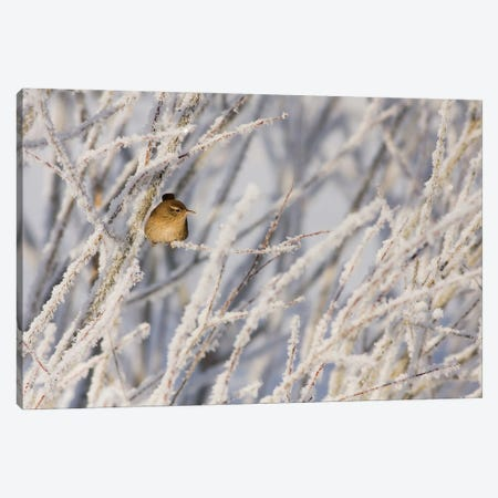 Little Wren Canvas Print #MTU66} by Mateusz Piesiak Canvas Artwork