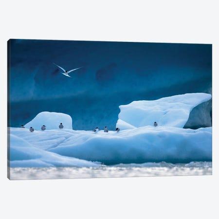 Arctic Terns Canvas Print #MTU67} by Mateusz Piesiak Canvas Art