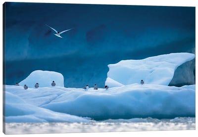Arctic Terns Canvas Art Print