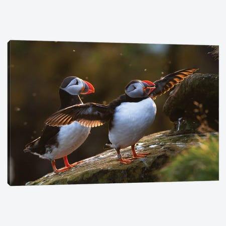 Puffins Canvas Print #MTU70} by Mateusz Piesiak Canvas Art
