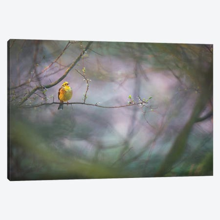 Yellowhammer I Canvas Print #MTU7} by Mateusz Piesiak Canvas Art Print