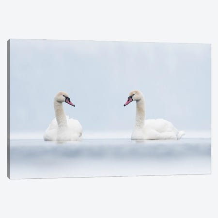 Swans In White Canvas Print #MTU80} by Mateusz Piesiak Canvas Print