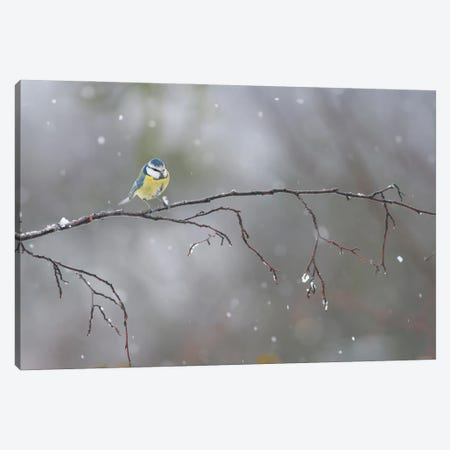 Blue Tit In Winter Canvas Print #MTU82} by Mateusz Piesiak Canvas Art Print