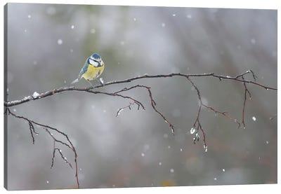 Blue Tit In Winter Canvas Art Print