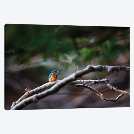 Kingfisher Canvas Print #MTU8} by Mateusz Piesiak Canvas Art