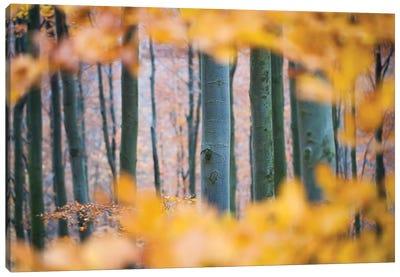 Autumn Beech Canvas Art Print