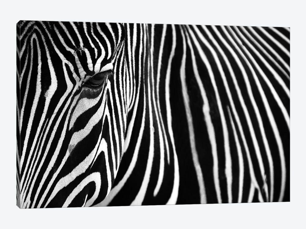 Zebra In Lisbon Zoo by Andy Mumford 1-piece Canvas Print
