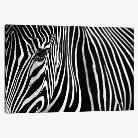 Zebra In Lisbon Zoo Canvas Print #MUM5} by Andy Mumford Art Print