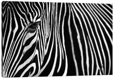 Zebra In Lisbon Zoo Canvas Art Print