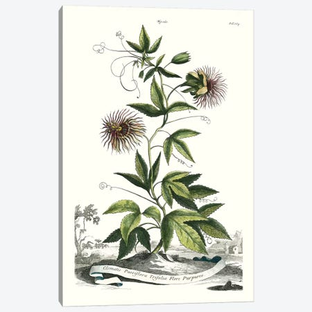 Garden Varieties II Canvas Print #MUN8} by Abraham Munting Canvas Print