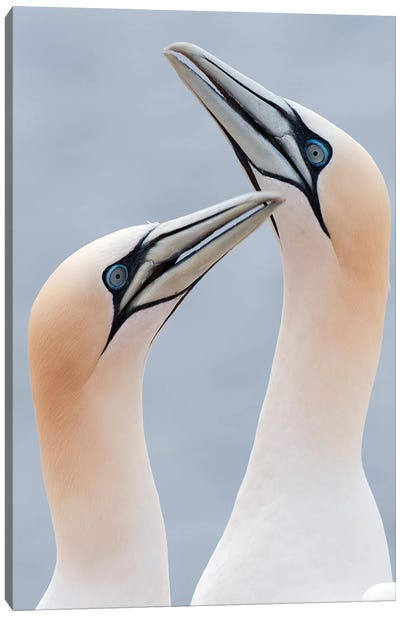 Northern Gannets Displaying, Helgoland, Germany Canvas Art Print