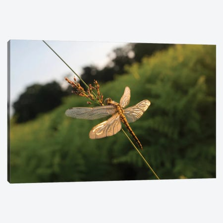 Dragonfly Dawn Canvas Print #MXE69} by Max Ellis Canvas Art Print