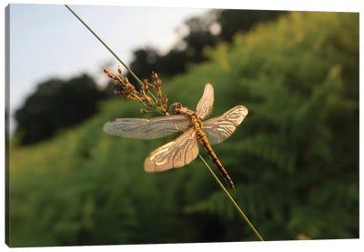 Dragonfly Dawn Canvas Art Print