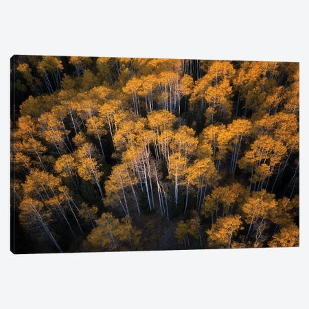 Aspen In Autumn Canvas Print #MXU7} by Mei Xu Canvas Print