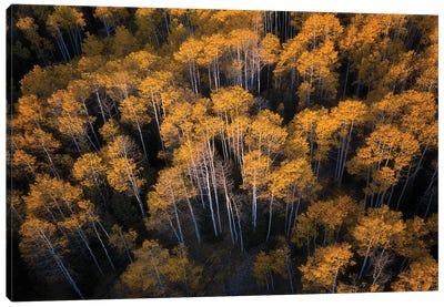 Aspen In Autumn Canvas Art Print