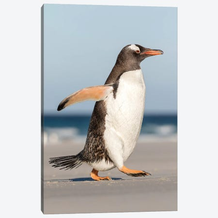 Gentoo Penguin Falkland Islands. Marching at evening to the colony I Canvas Print #MZW10} by Martin Zwick Canvas Art Print