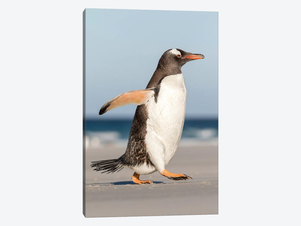 Gentoo Penguin Falkland Islands. Marching at evening to the colony I by Martin Zwick 1-piece Canvas Print