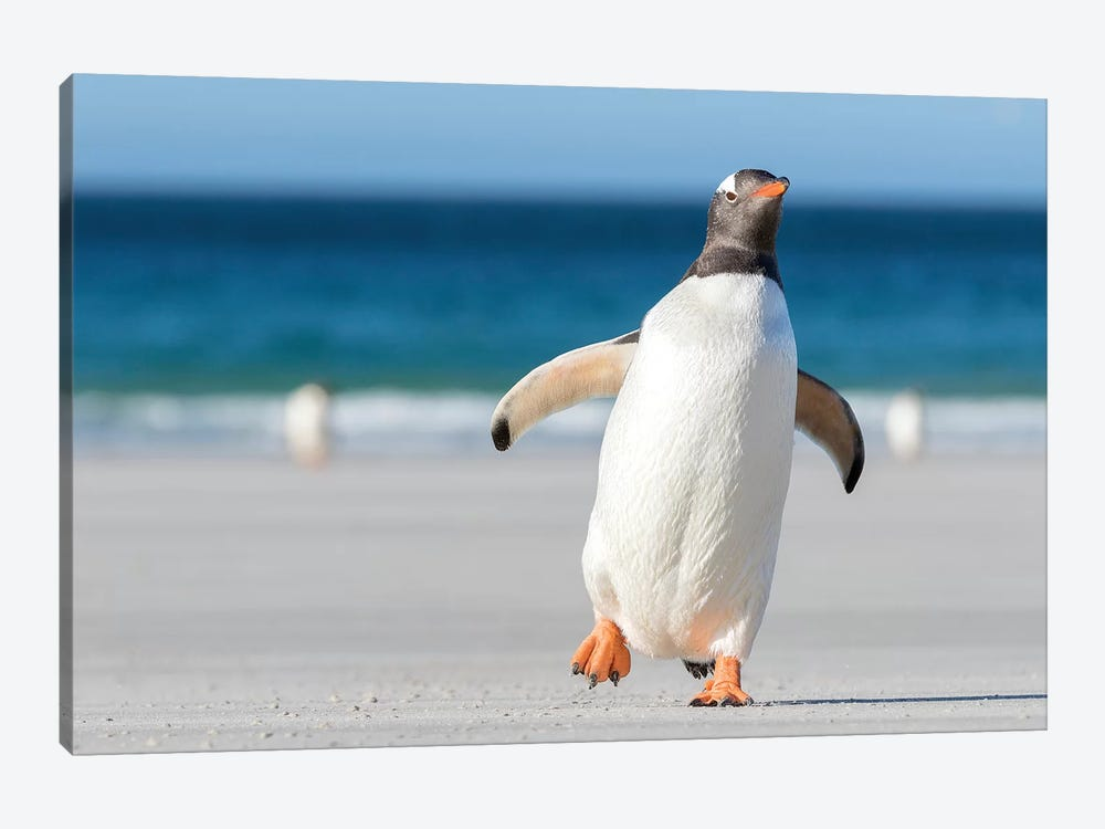 Gentoo Penguin Falkland Islands. Marching at evening to the colony II by Martin Zwick 1-piece Canvas Wall Art