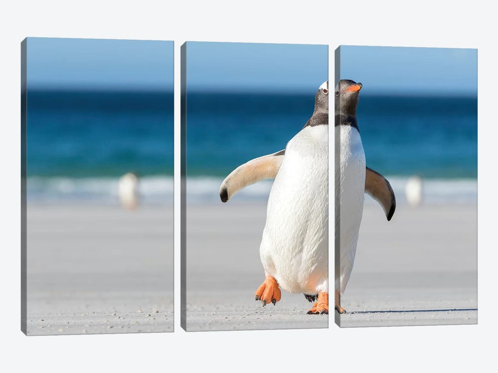 Gentoo Penguin Falkland Islands. Marching at evening to the colony II 3-piece Canvas Artwork