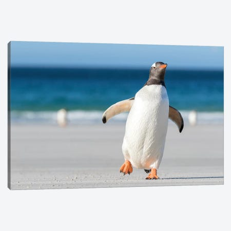 Gentoo Penguin Falkland Islands. Marching at evening to the colony II Canvas Print #MZW11} by Martin Zwick Canvas Print