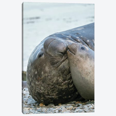 Southern elephant seal bull and female on beach. Canvas Print #MZW120} by Martin Zwick Canvas Art Print