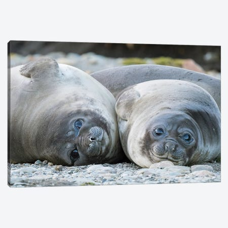 Southern elephant seal weaned pup on beach. Canvas Print #MZW121} by Martin Zwick Canvas Art Print