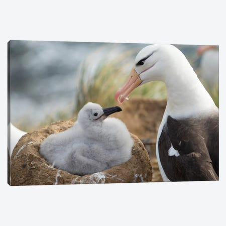 Adult And Chick Black-Browed Albatross On Tower-Shaped Nest, Falkland Islands. Canvas Print #MZW136} by Martin Zwick Canvas Print
