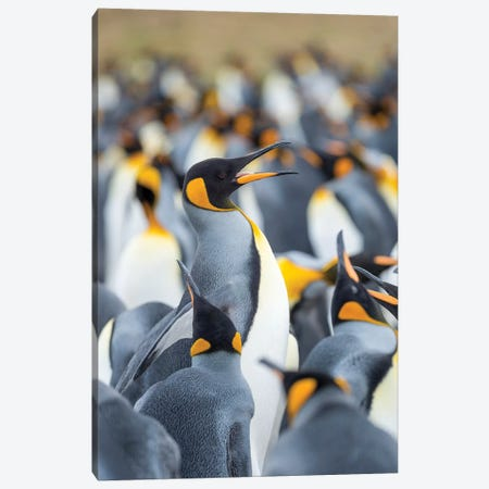 Adult King Penguin Running Through Rookery While Being Pecked At By Neighbors, Falkland Islands. Canvas Print #MZW141} by Martin Zwick Canvas Art Print