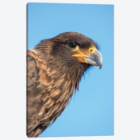 Adult With Typical Yellow Skin In Face. Striated Caracara Or Johnny Rook, Protected, Endemic To The Falkland Islands. Canvas Print #MZW145} by Martin Zwick Canvas Wall Art
