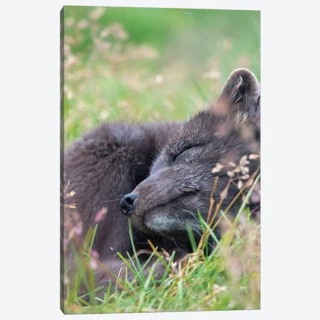 Arctic Fox, Melrakkasetur Islands, Westfjords, Iceland. Canvas Print #MZW146} by Martin Zwick Canvas Art