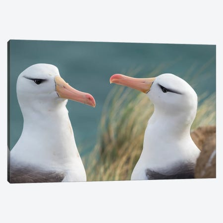 Black-Browed Albatross, Typical Courtship And Greeting Behavior, Falkland Islands. Canvas Print #MZW154} by Martin Zwick Canvas Print