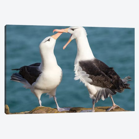 Black-Browed Albatross, Typical Courtship And Greeting Behavior, Falkland Islands. Canvas Print #MZW155} by Martin Zwick Canvas Print