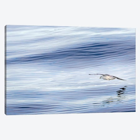 Northern Fulmar over the coast of southern Greenland. 3-Piece Canvas #MZW15} by Martin Zwick Canvas Art
