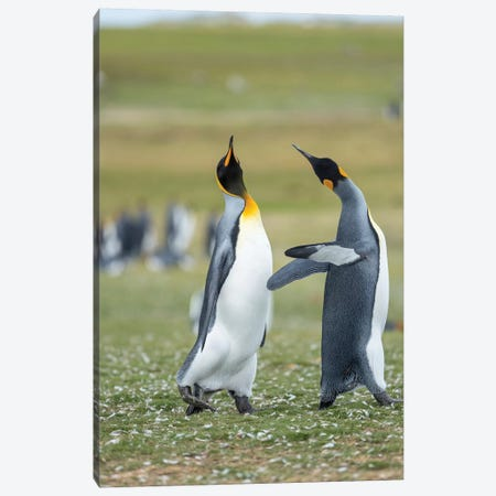 Courtship Display. King Penguin On Falkland Islands. Canvas Print #MZW168} by Martin Zwick Canvas Art Print