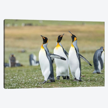 Courtship Display. King Penguin On Falkland Islands. Canvas Print #MZW169} by Martin Zwick Canvas Print