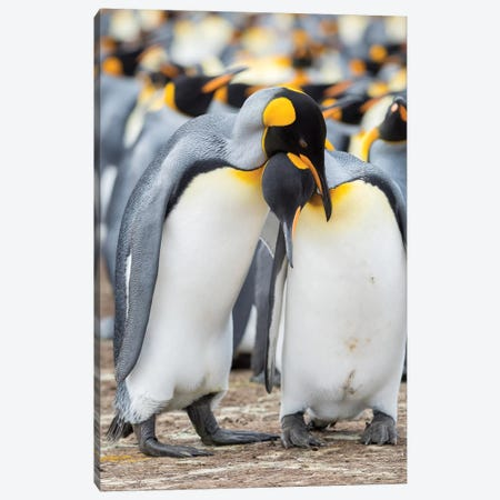 Courtship Display. King Penguin On Falkland Islands. Canvas Print #MZW170} by Martin Zwick Canvas Wall Art