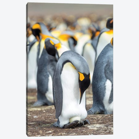 Egg Being Incubated By Adult While Balancing On Feet. King Penguin On Falkland Islands. Canvas Print #MZW181} by Martin Zwick Art Print