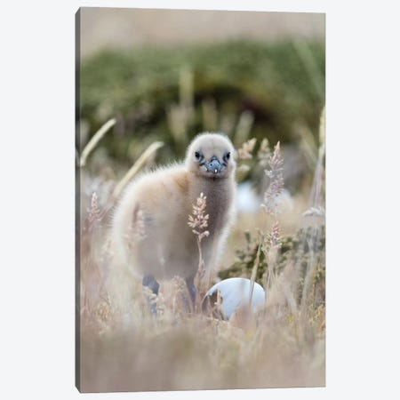 Falkland Skua Chick, Falkland Islands. Canvas Print #MZW186} by Martin Zwick Canvas Wall Art