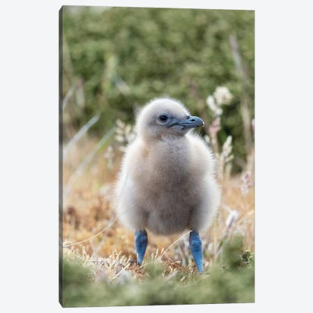 Falkland Skua Or Brown Skua Chick. They Are The Great Skua Of The Southern Polar And Subpolar Region, Falkland Islands. Canvas Print #MZW187} by Martin Zwick Canvas Wall Art