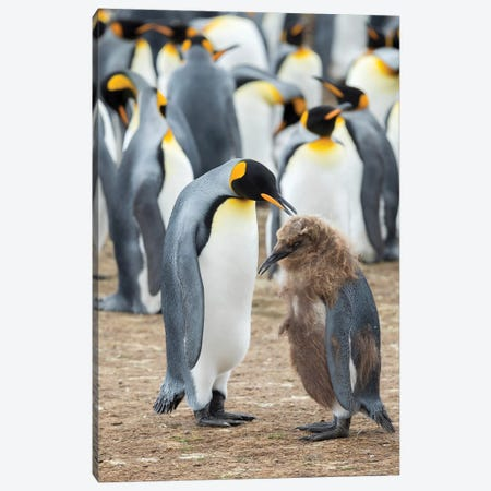 Feeding A Chick In Brown Plumage. King Penguin On Falkland Islands. Canvas Print #MZW188} by Martin Zwick Canvas Art Print