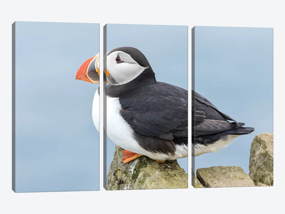 Atlantic Puffin, Mykines, Faroe Islands, Denmark I by Martin Zwick 3-piece Canvas Art Print