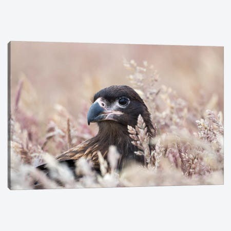 Juvenile Striated Caracara, Protected, Endemic To The Falkland Islands. Canvas Print #MZW213} by Martin Zwick Canvas Art Print
