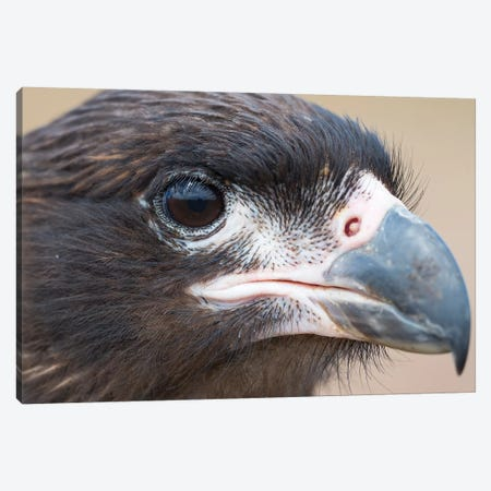 Juvenile With Typical Pale Skin In Face. Striated Caracara Or Johnny Rook, Protected, Endemic To The Falkland Islands. Canvas Print #MZW214} by Martin Zwick Canvas Wall Art