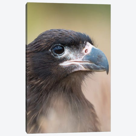 Juvenile With Typical Pale Skin In Face. Striated Caracara Or Johnny Rook, Protected, Endemic To The Falkland Islands. Canvas Print #MZW215} by Martin Zwick Canvas Artwork